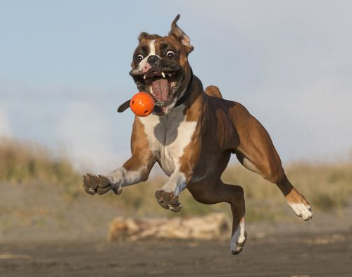 Gambar Anjing Boxer 4