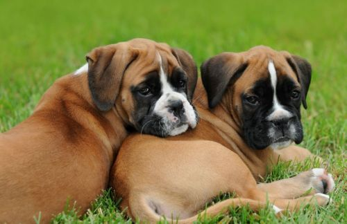 Gambar Anjing Boxer 5