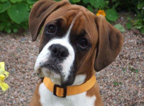 Gambar Anjing Boxer 6