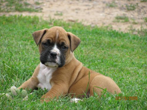 Gambar Anjing Boxer 8