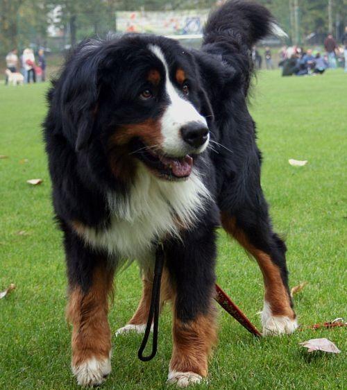 Gambar Anjing Gunung Bern 1