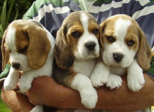 Gambar Beagle Paling Lucu 8