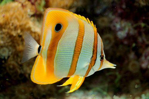 Gambar Ikan Kupu-kupu 1