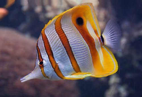 Gambar Ikan Kupu-kupu 2
