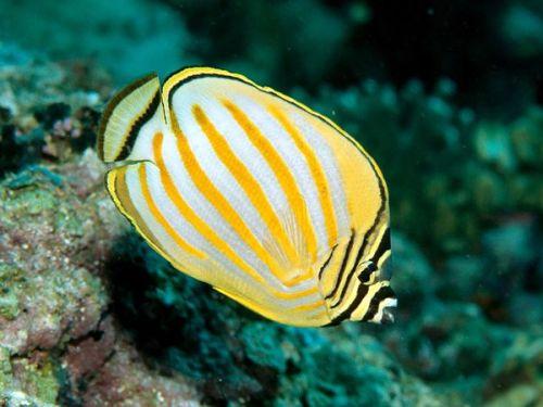 Gambar Ikan Kupu-kupu 4
