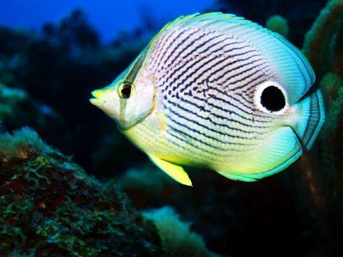 Gambar Ikan Kupu-kupu 5