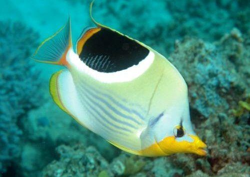 Gambar Ikan Kupu-kupu