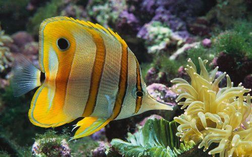 Gambar Ikan Kupu-kupu 7
