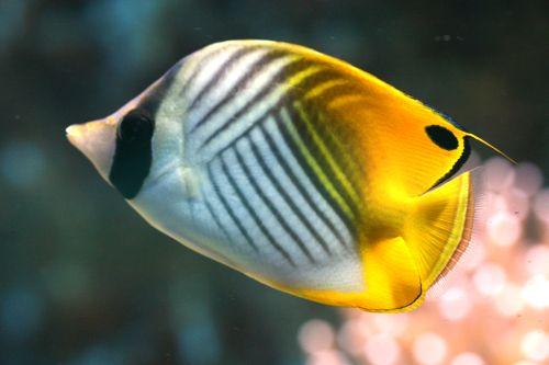 Gambar Ikan Kupu-kupu 8
