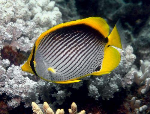 Gambar Ikan Kupu-kupu 9