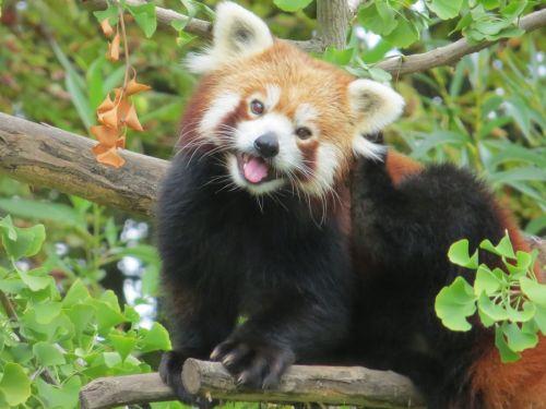 Gambar Panda Merah 2