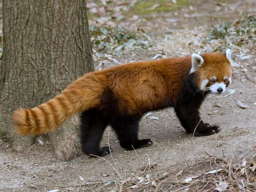 Gambar Panda Merah 3