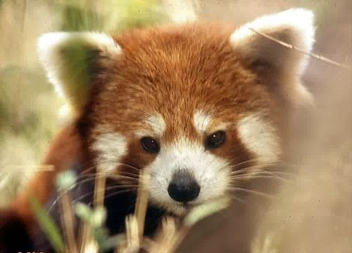 Gambar Panda Merah 4