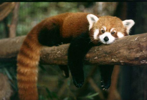Gambar Panda Merah 5