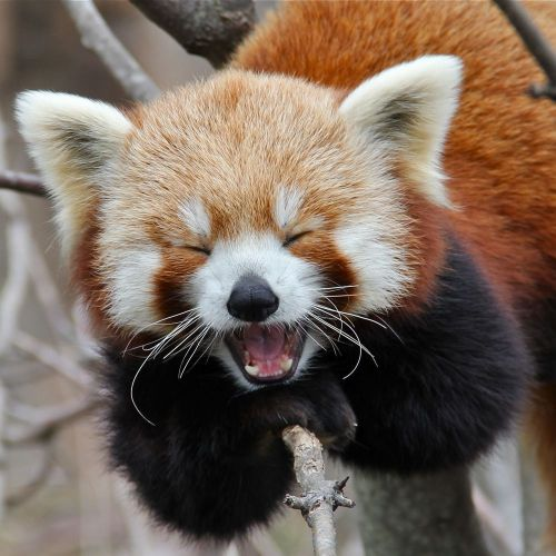 Gambar Panda Merah 6