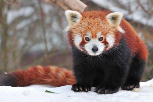 Gambar Panda Merah 7