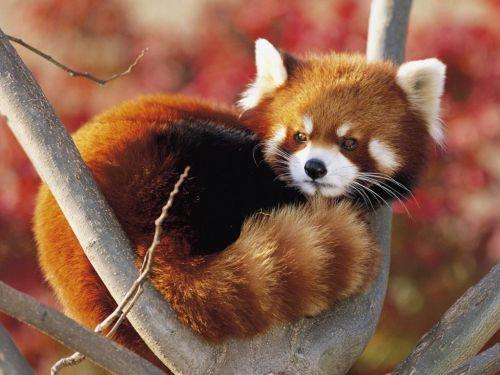 Gambar Panda Merah 8