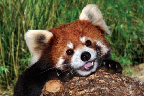 Gambar Panda Merah 9