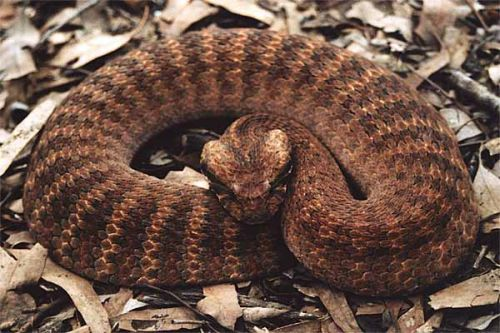 Gambar Ular Death Adder 2
