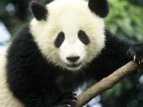 Panda Raksasa 1