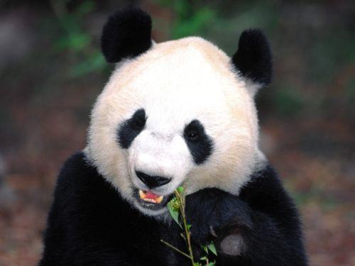 Panda Raksasa 10