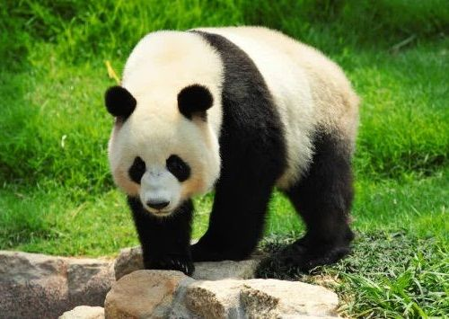 Panda Raksasa