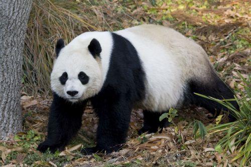 Panda Raksasa 3