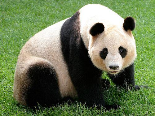 Panda Raksasa 4