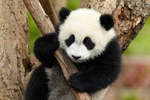 Panda Raksasa 5