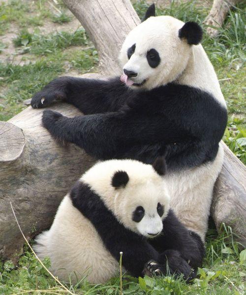 Panda Raksasa 6
