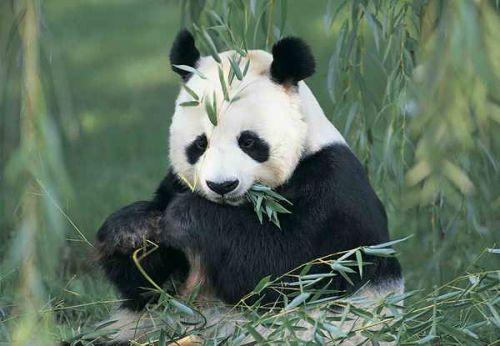 Panda Raksasa 7