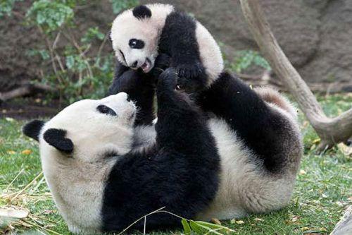 Panda Raksasa 8