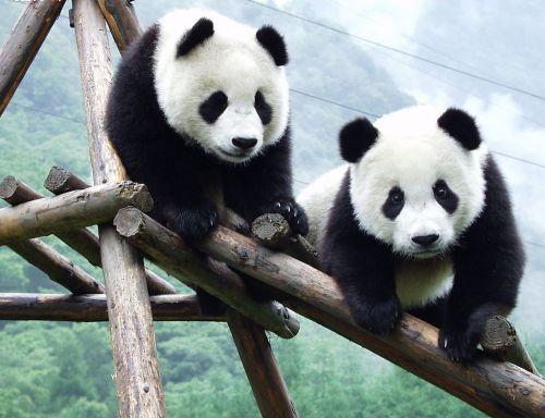 Panda Raksasa 9
