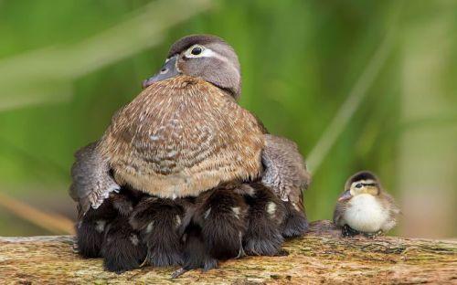 Foto Burung Merawat Anaknya 15