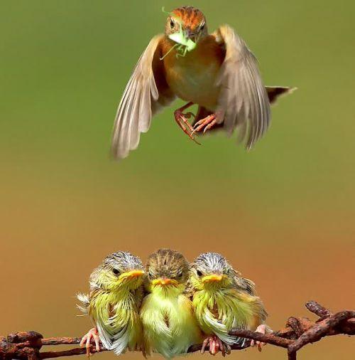 Foto Burung Merawat Anaknya 24