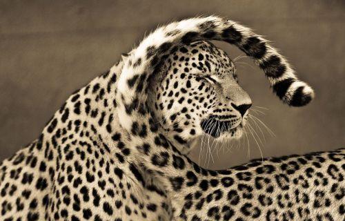 Foto Kucing Besar 1
