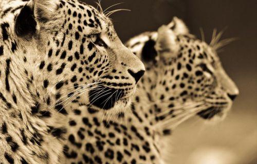 Foto Kucing Besar 11