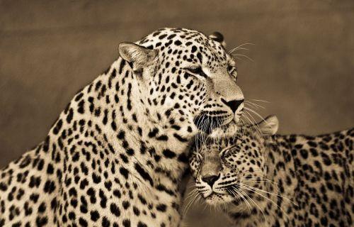 Foto Kucing Besar 3