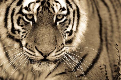 Foto Kucing Besar 9