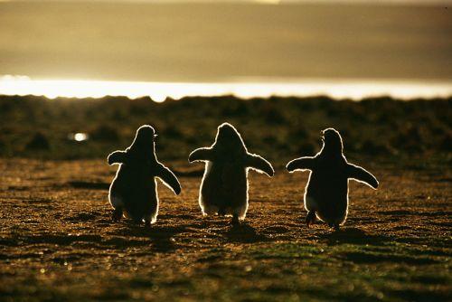 Fotografi Penguin Paling Bagus 1