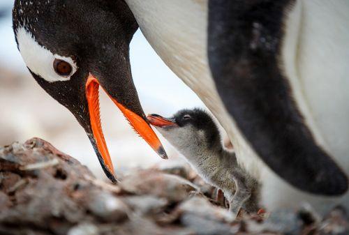 Fotografi Penguin Paling Bagus 10