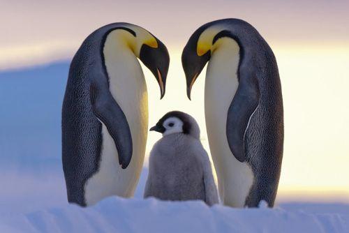 Fotografi Penguin Paling Bagus 11