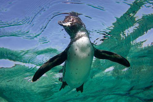 Fotografi Penguin Paling Bagus 12