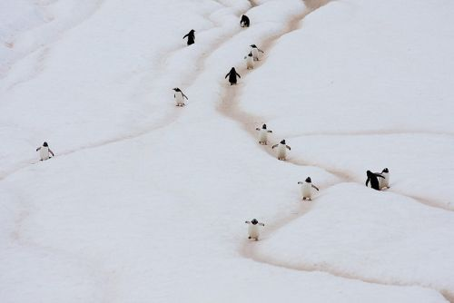 Fotografi Penguin Paling Bagus 13