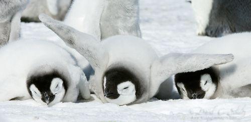 Fotografi Penguin Paling Bagus 15