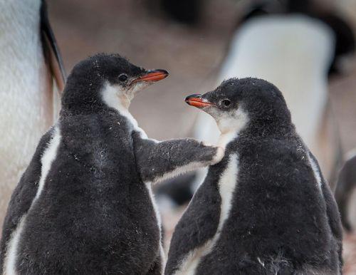 Fotografi Penguin Paling Bagus 16