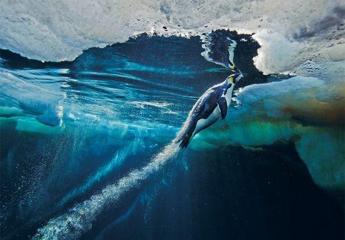 Fotografi Penguin Paling Bagus 17