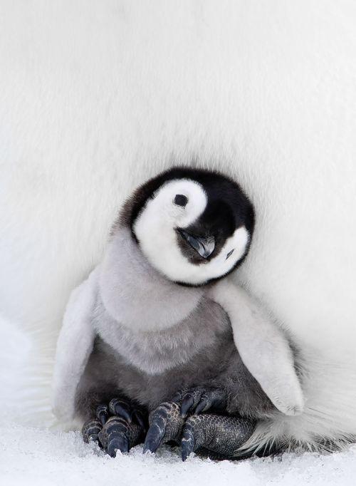 Fotografi Penguin Paling Bagus 7