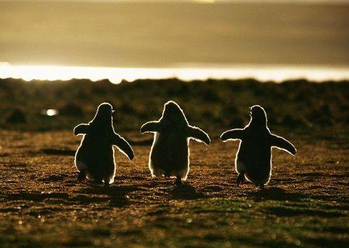 Fotografi Penguin Paling Bagus
