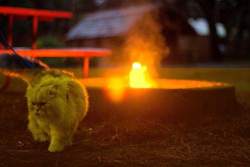 Gandalf Si Kucing Siberia yang Hobi Traveling 10